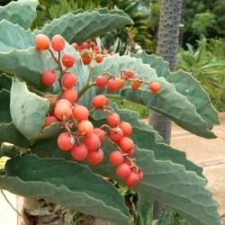 Sementes de Uva Da Namibia (Cyphostemma Juttae) 7.5 - 2