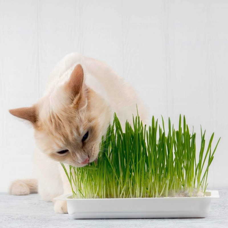 Organic Cat Grass Seeds (Dactylis glomerata) 1.75 - 1