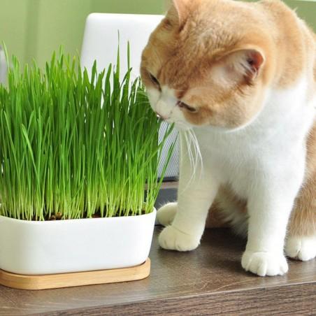 Organic Cat Grass Seeds (Dactylis glomerata) 1.75 - 2