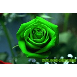 Green Rose Flower Seeds