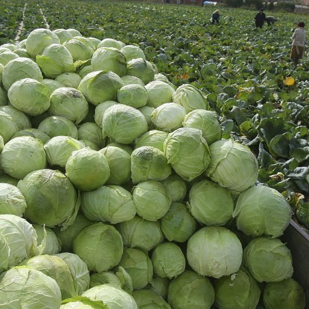4000 seeds Futog Cabbage Heirloom 9.95 - 2