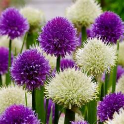 Aljma - Zimski Luk Seme (Allium Fistulosum) 1.95 - 2