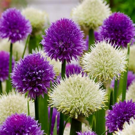Piplök Frön (Allium fistulosum) 1.95 - 2