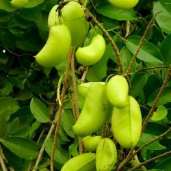 Afrikanische Schwarzbohne Samen (Griffonia simplicifolia) 3.95 - 1