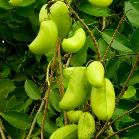 Griffonia simplicifolia Seme – Prirodni lek za depresiju 3.95 - 1