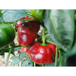 GREYGO Hungarian sweet pepper seeds 1.55 - 4