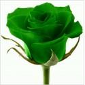 Green Rose Flower Seeds