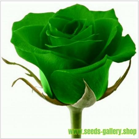 Rose Graines Chinois Rare Vert Rose Fleur