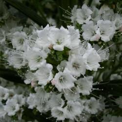 Weiße Natternkopf Schneeturm Samen 2.5 - 2