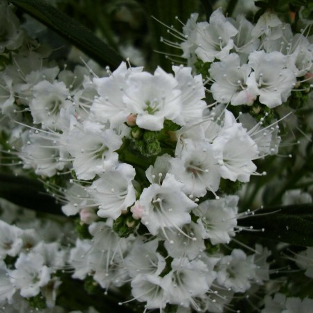 Echium - Snow Tower Seeds 2.5 - 2