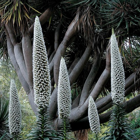 Echium - Snow Tower Seeds