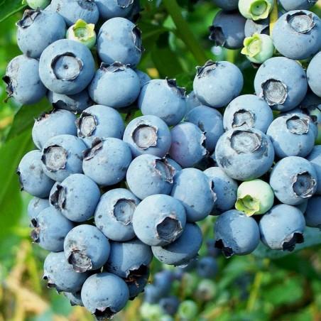 Amerikanskt Highbush Blåbär Frö (Vaccinum Corymbosum) 2.45 - 2