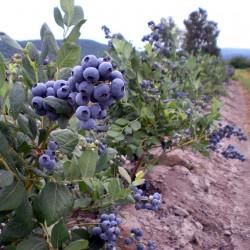 Blue huckleberry Seeds (Vaccinium Corymbosum) 2.45 - 3