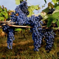 Semillas de Uva negro (vitis vinifera) 1.55 - 2