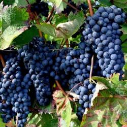 Schwarze Weintraube Samen (vitis vinifera) 1.55 - 3