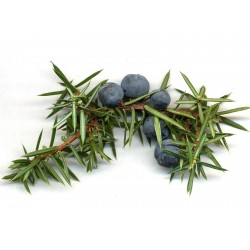 Graines de BAIES DE GENÉVRIER (Juniperus communis) 1.65 - 1
