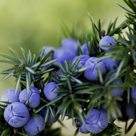 Juniper Berry Seeds (Juniperus communis) 1.65 - 2