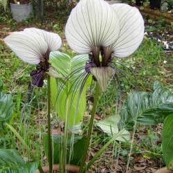 White Bat Flower Seeds (Tacca chantrieri) 2.85 - 2