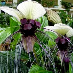 λευκό Λουλούδι Νυχτερίδα Σπόροι (Tacca chantrieri) 2.85 - 1