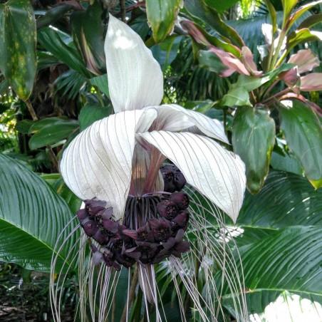 White Bat Flower Seeds (Tacca chantrieri) 2.85 - 4