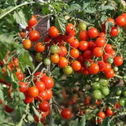 400+ Semi di Pomodoro Cherry Belle 5.5 - 2