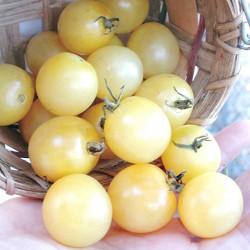 Snow White Cherry Cocktail Tomate Samen 1.95 - 1