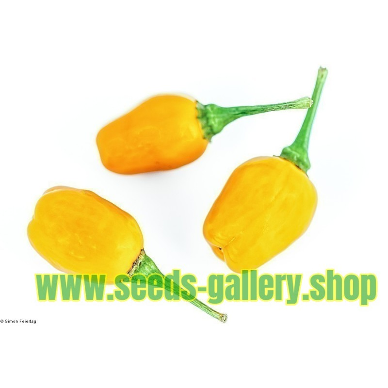 Σπόροι τσίλι Cumari o Passarinho (Capsicum chinense)