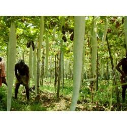 Semillas de Calabaza larga botella SERPIENTE 2 - 3