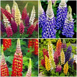 Kings Lupin Seeds (Lupinus polyphyllus) 1.5 - 2