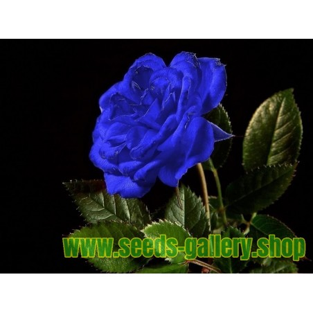 Sementes de Rosa Azul - Raras - Exóticas