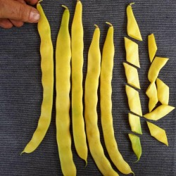 Bean Seeds 'Marvel of Venice' 1.85 - 2