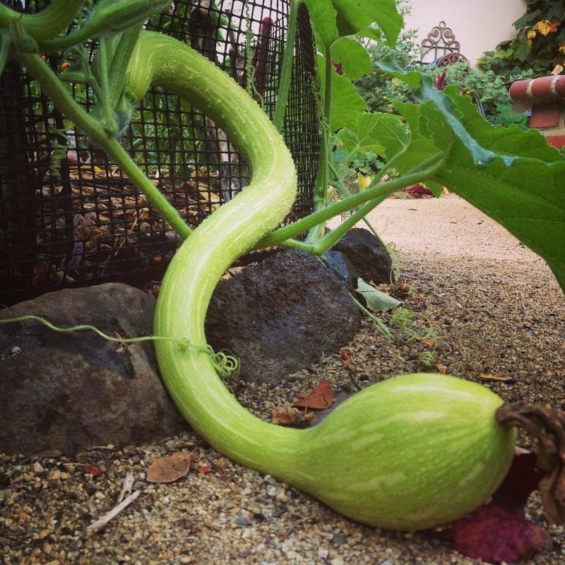 Winter squash Seeds TROMBETTA DI ALBENGA 2.35 - 1