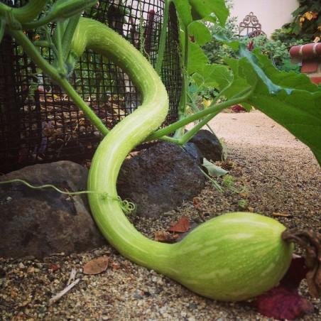 Fröer till zucchini Tromba d'Albenga