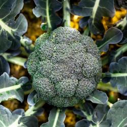 Brokoli Ramoso Calabrese Seme 1.95 - 2