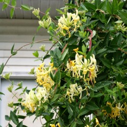 Italian woodbine seeds (Lonicera caprifolium) 1.95 - 1