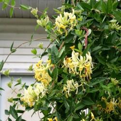 Sementes de Madressilva (Lonicera caprifolium) 1.95 - 1