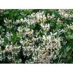 Italian woodbine seeds (Lonicera caprifolium) 1.95 - 3