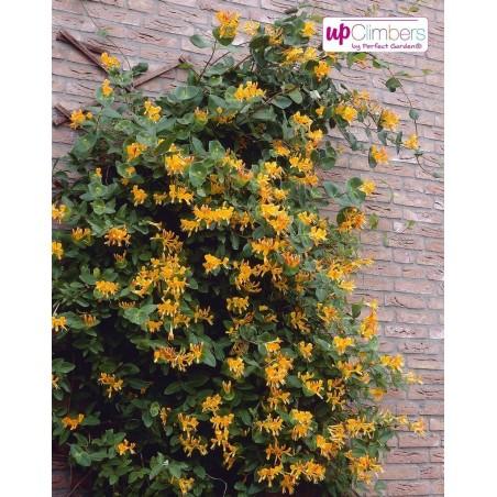 Italian woodbine seeds (Lonicera caprifolium) 1.95 - 4