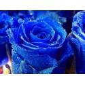 Blaue Rose Blumensamen ein echtes Highlight