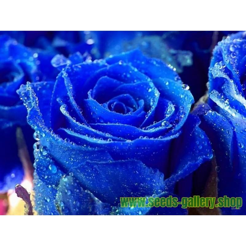 Frön Blue Rose Sällsynta