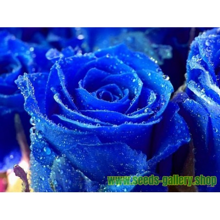 Blue Rose Flower Seeds