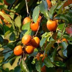 Sementes de American persimmon (Diospyros virginiana) 3.5 - 3