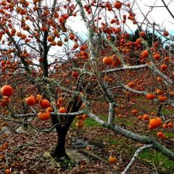 American persimmon seme (Diospyros virginiana) 3.5 - 2