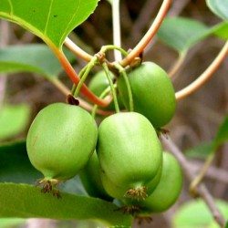 Hardy Kiwi seeds -34C (actinidia arguta) 1.5 - 2