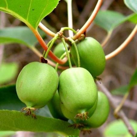Semillas de Mini Kiwi (Actinidia arguta) resistente a las heladas a -34C 1.5 - 2