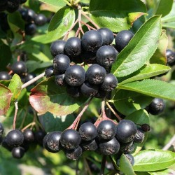 Apfelbeere Samen (Aronia melanocarpa) frosthart 2.25 - 2