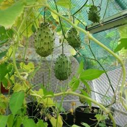 Semillas de Pepino Africano (Cucumis metuliferus) 2.15 - 2
