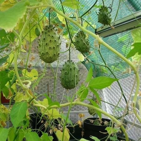 Graines de Kiwano Melon A Cornes (Cucumis metuliferus) 2.15 - 2
