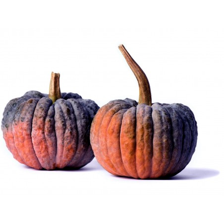 BLACK FUTSU Japanese Pumpkin Seeds 2.35 - 3
