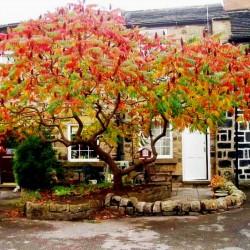Сума́х оленерогий, Уксусное дерево семена (Rhus typhina)  - 1